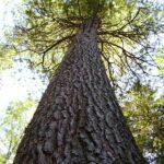 Сибирский кедр древесина