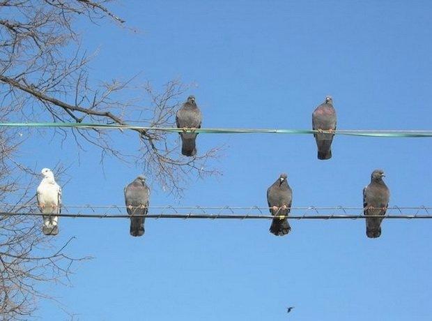 голуби на электро проводах