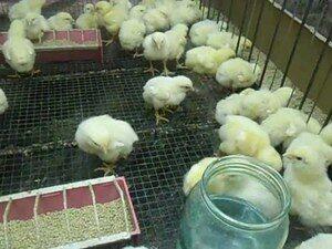 загон для цыплят
