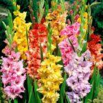 Гладиолусы — изумительные садовые цветы