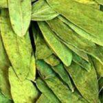 Александрийский лист: польза растения