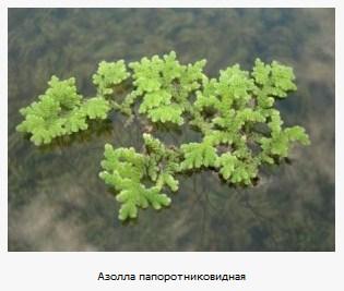 Азолла папоротниковидная