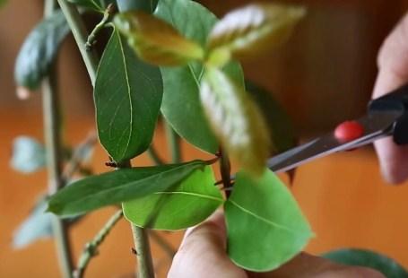 лавровое дерево обрезание листов